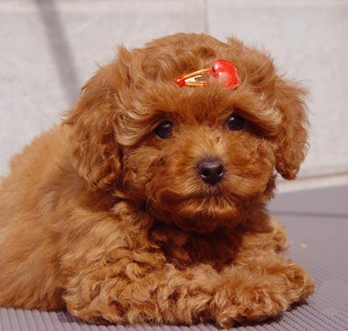 泰迪多大算成犬?
